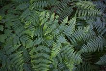 Green Fern Or Bracken Leaves -...