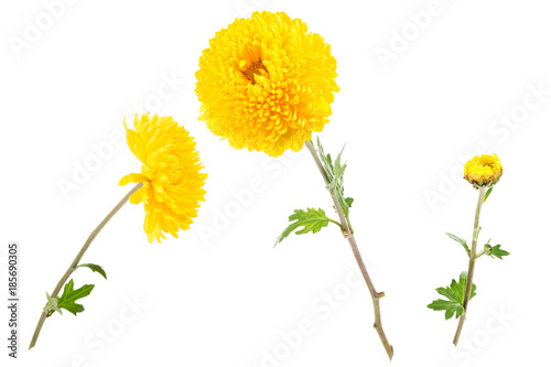 Canvas-taulu Set of bright yellow chrysanthemums isolated on white background (open flowers and bud)