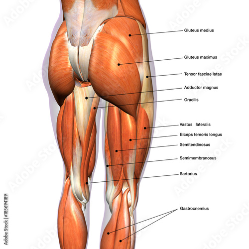 Fotografie, Obraz  Female Hip and Leg Muscles Labeled