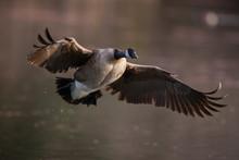 Canada Goose Mid Flight