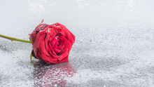 Red Rose With Water Drops Isol...