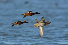 Cinnamon Teal Ducks Flying Low