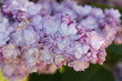 Syringa vulgaris or lilac ami schott purple flowers close up