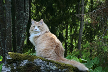 Norwegian Forest Cat On A Ston...