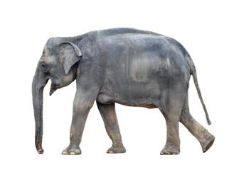 Big grey walking elephant isolated on white background. Standing elephant full length close up. Female Asian elephant.
