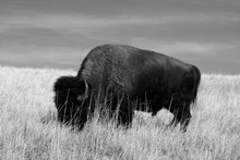 Lone Buffalo / Bison Bull Graz...