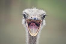 Portrait Of An Ostrich Bird In...