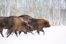 Large Brown Bisons Wisent Runn...