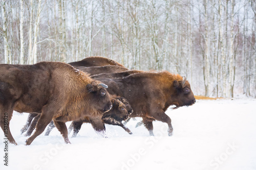 Large brown bisons Wisent running in winter forest with snow Wallpaper Mural