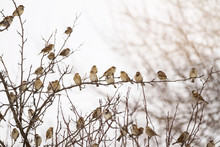 Flock Of Sparrows Perched On B...