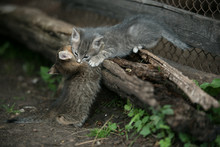 Two Grey Kitten With Spots Playing On A Wooden Log