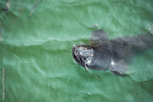 Foto op Aluminium Vissen giant catfish in the cooling pond of the Chernobyl nuclear power plant