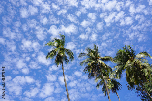 Top of coconut palm trees Wallpaper Mural