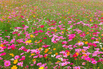 Fototapeta Beautiful cosmos flowers in the garden