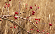Twigs Of Wild Rose Bush With R...