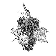 Grapes Monochrome Sketch. Hand...