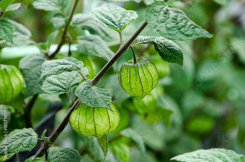 Cape Gooseberry (Physalis peruviana), little twig on nature background in the garden Mae Hong Son, Northern Thailand.