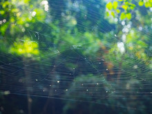 Spider Web On The Tree In The ...