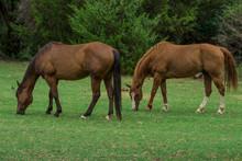 Grazing Quater Horses