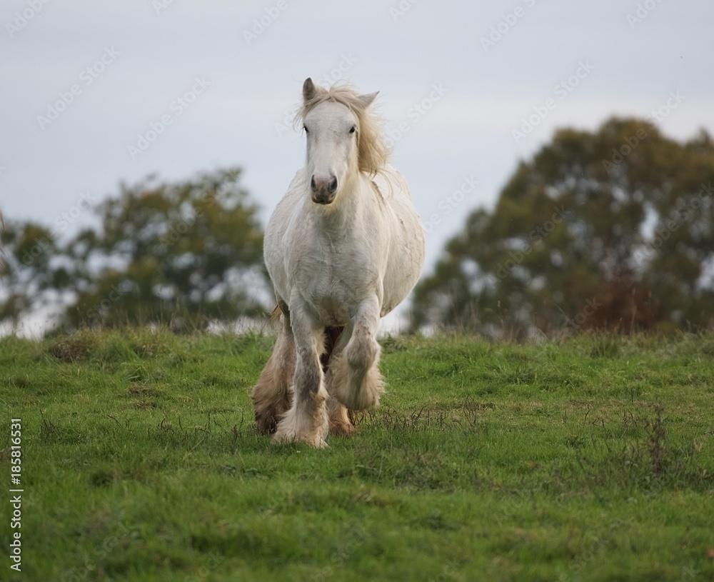 Fototapeta galopujący siwy koń