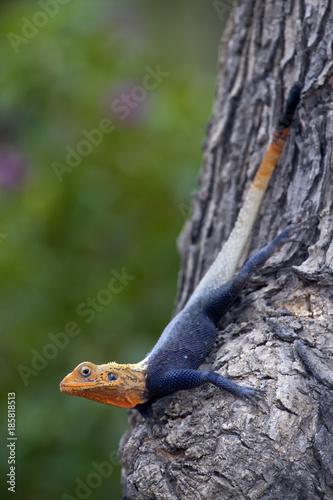 Photo Male rainbow agama (Agama agama) in a tree, Cameroon.