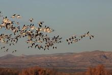 Snow Geese Bosque Del Apache, ...