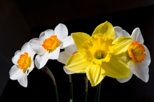 A Bouquet Of Daffodils Isolate...