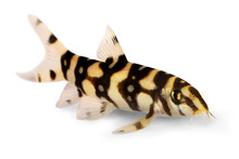 Burmese Border Loach Catfish P...