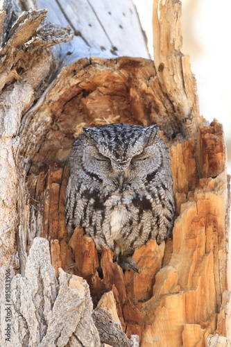 Western Screech-owl, (Megascops kennicottii) on the Tree New Mexico Canvas Print