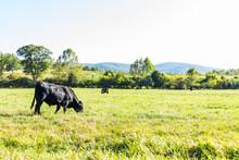 Black Cows Grazing On Pasture ...