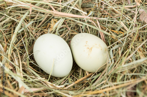 Fotografie, Obraz  Farm fresh eggs in a nest of hay