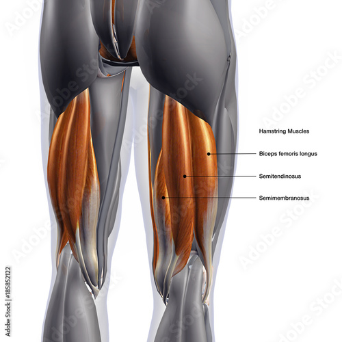 Hamstring Muscles Labeled, Male Posterior on White Background Fototapet