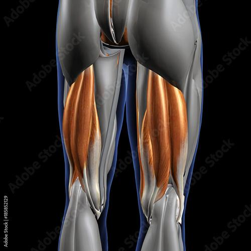 Hamstring Muscles Isolated, Male Posterior on Black Fototapeta