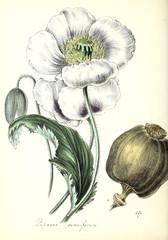 Panel Szklany Botaniczne poppy