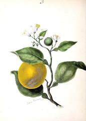 Panel Szklany Botaniczne Citrus