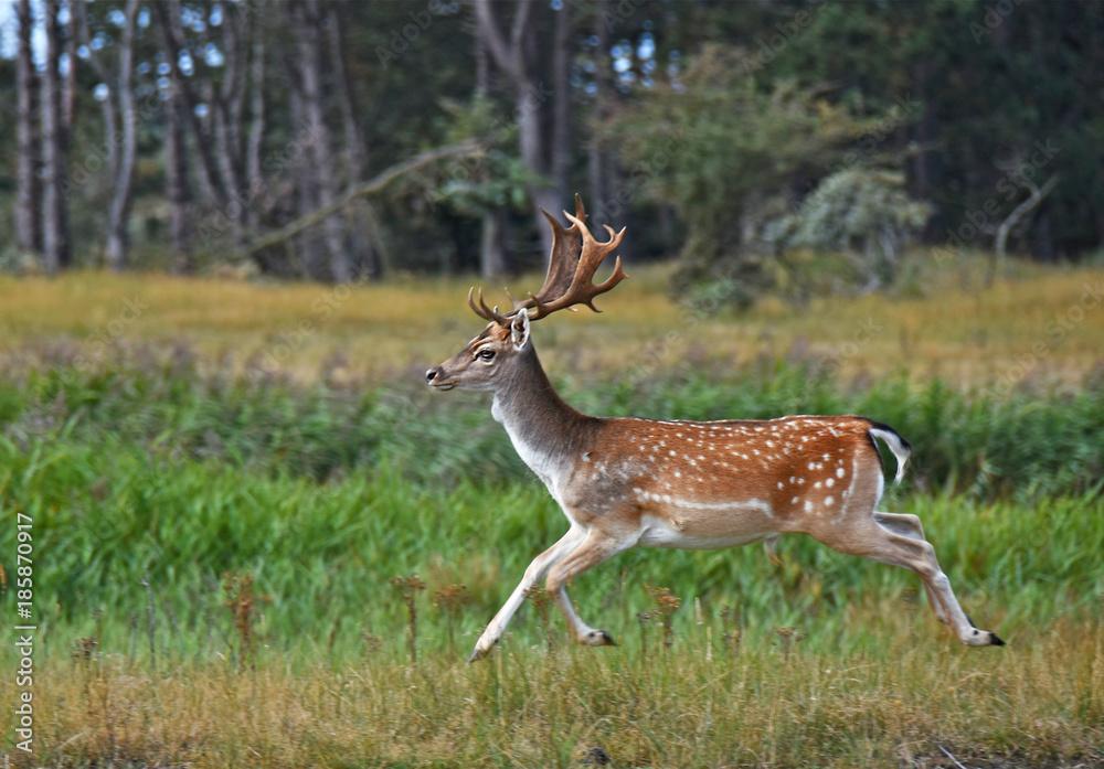 Running fallow deer-2