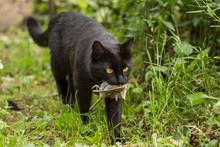 Black Cat With A Bird Caught I...