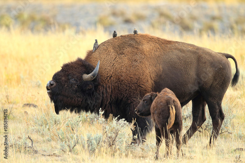 Foto op Canvas Bison American Bison, Buffalo, Yellowstone National Park