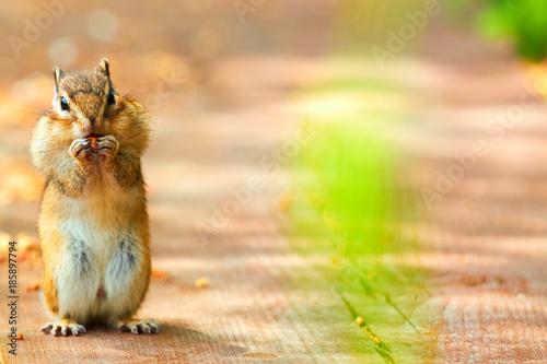 Fototapeta Chipmunk with nut, standing on hind legs obraz