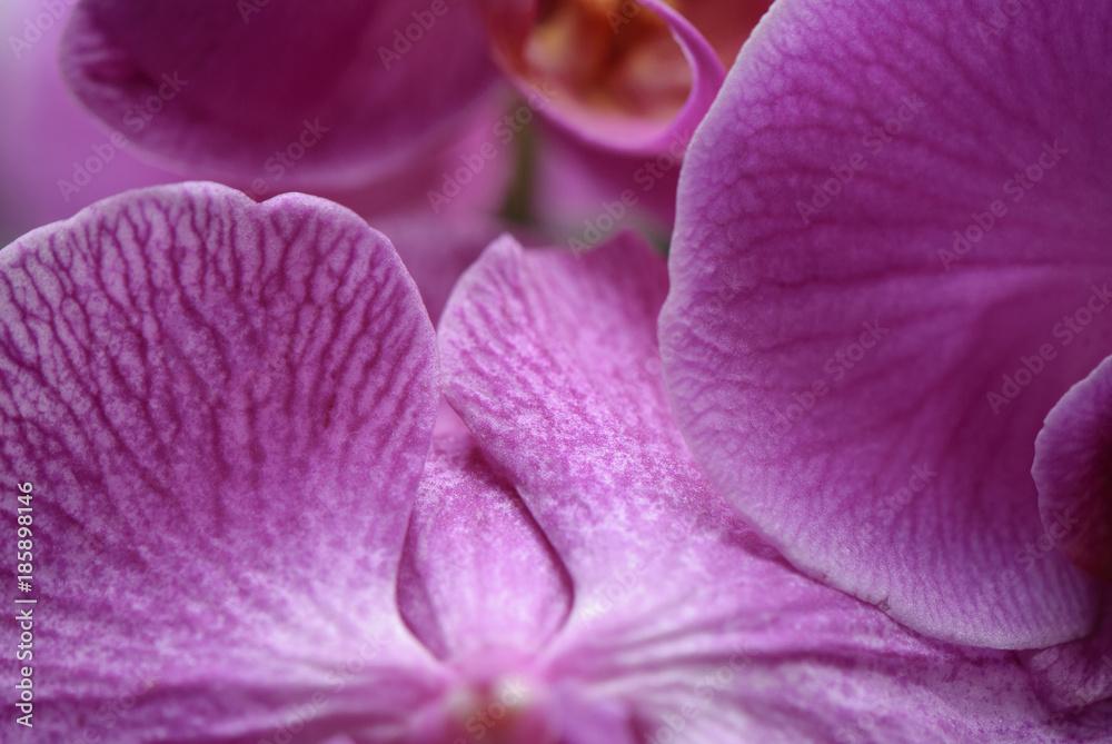 Obraz różowe storczyki (Phalaenopsis) fototapeta, plakat