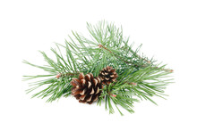 Pine Tree Branches With Cones ...