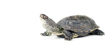 Turtle Isolated On White Backg...