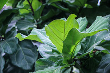 Green Ficus Pandurata(Fiddle L...