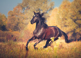 Fototapeta Konie - Dark brown mare galloping on the autumn nature background