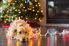 Silly Dog Wrapped In Christmas Lights.