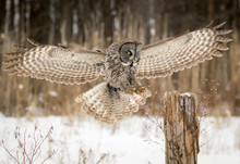 Great Grey Owl Landing On A Wo...