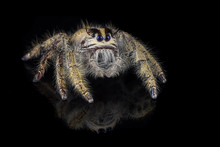 Close Up Of Jumping Spider Against Black Background