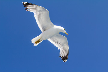 Seagull flying in clear sky