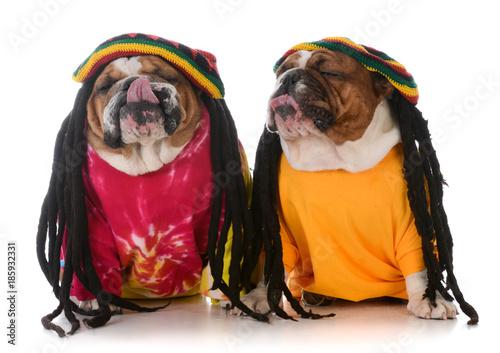 Fototapeta two dogs with dreadlock