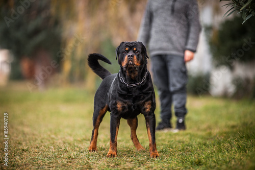 Adorable Devoted Purebred Rottweiler Canvas Print